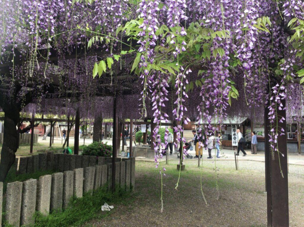 葛井寺 藤の花