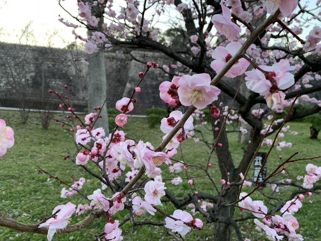 大阪城公園 梅林 武蔵野