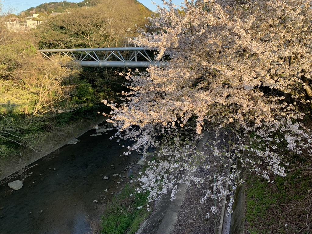 波太神社 和泉鳥取駅 桜