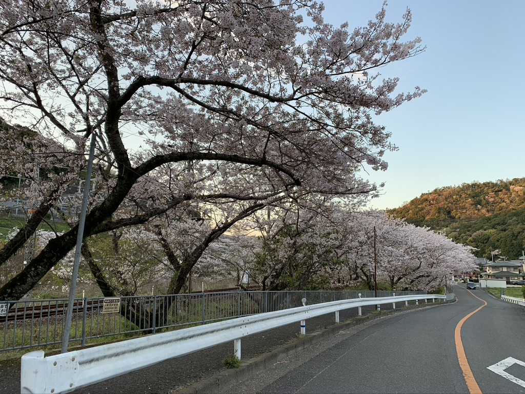 山中渓 山中渓駅 桜