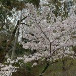 四條畷神社 桜