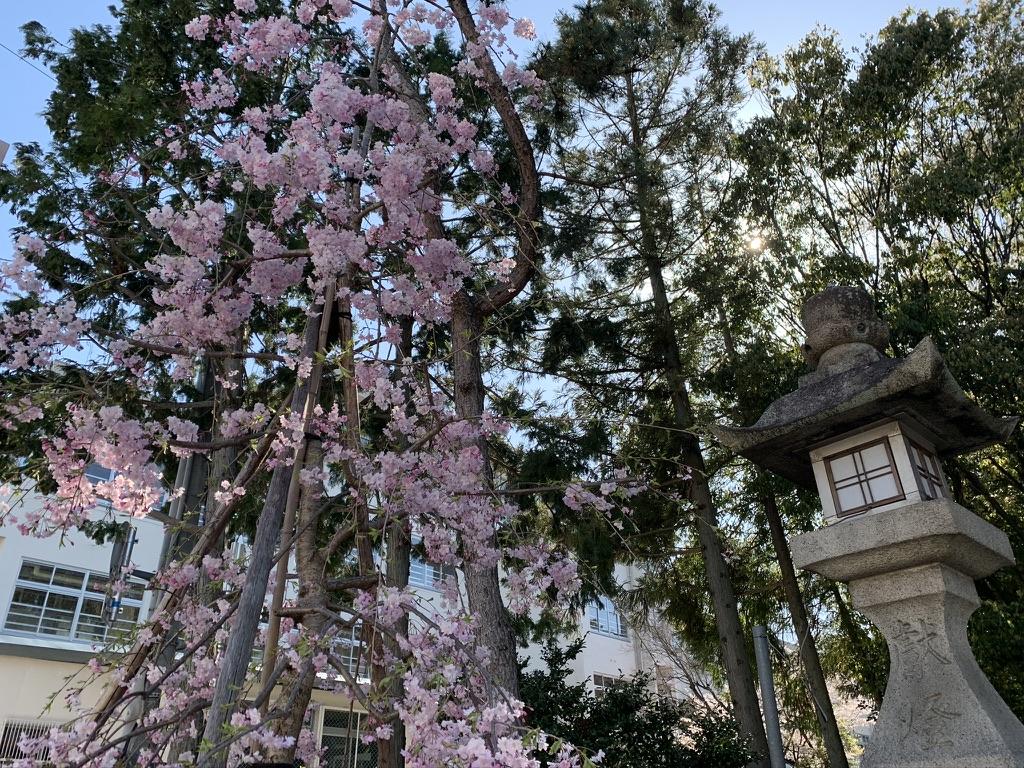 辛国神社 一の鳥居 枝垂れ桜
