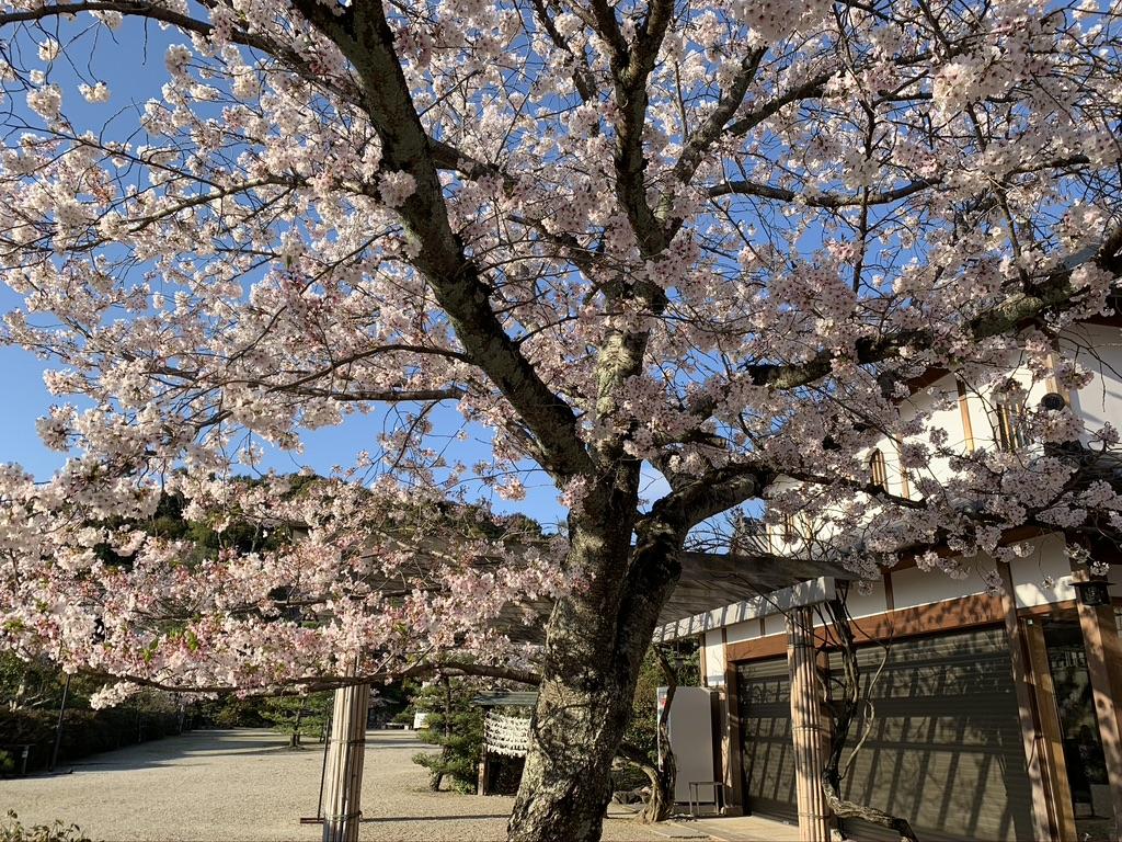 河内西国 叡福寺 桜