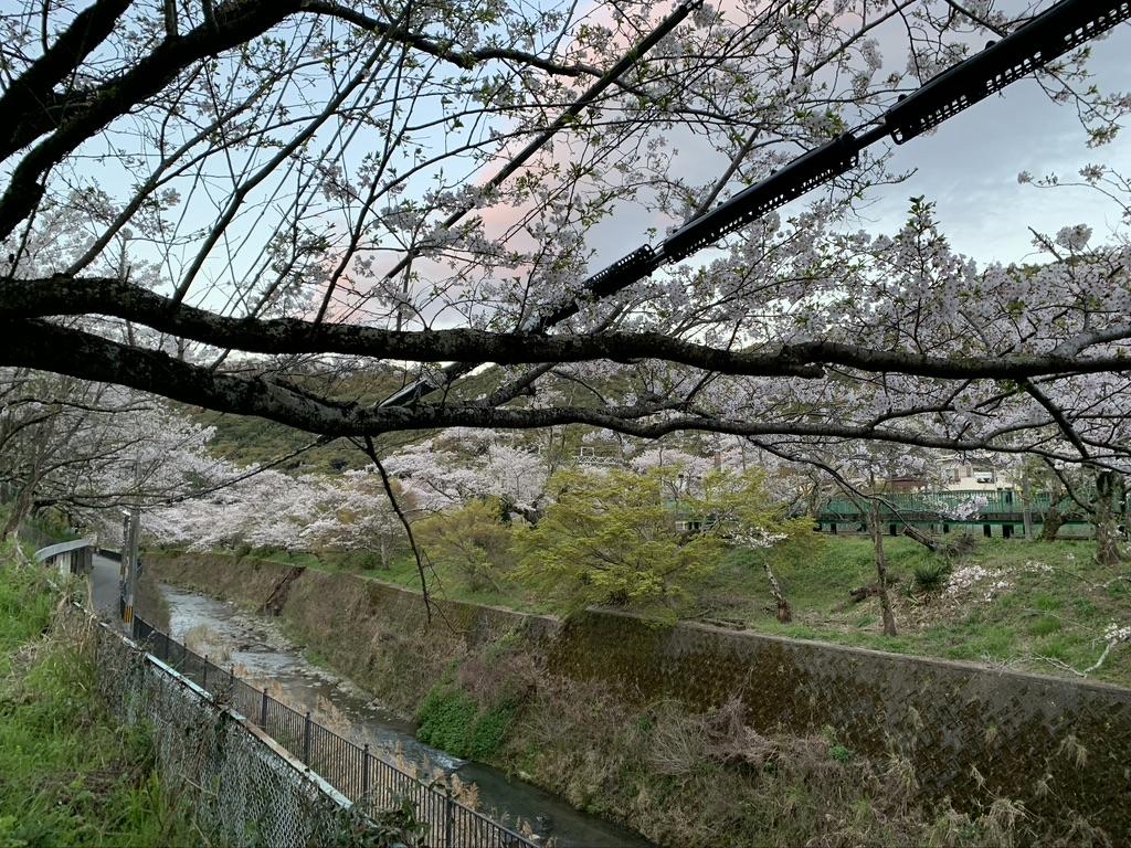 山中渓 川 桜