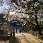 波太神社 石橋 桜