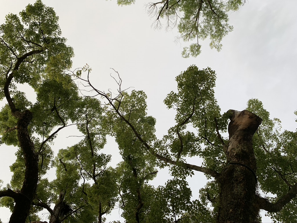 石切劔箭神社 楠木