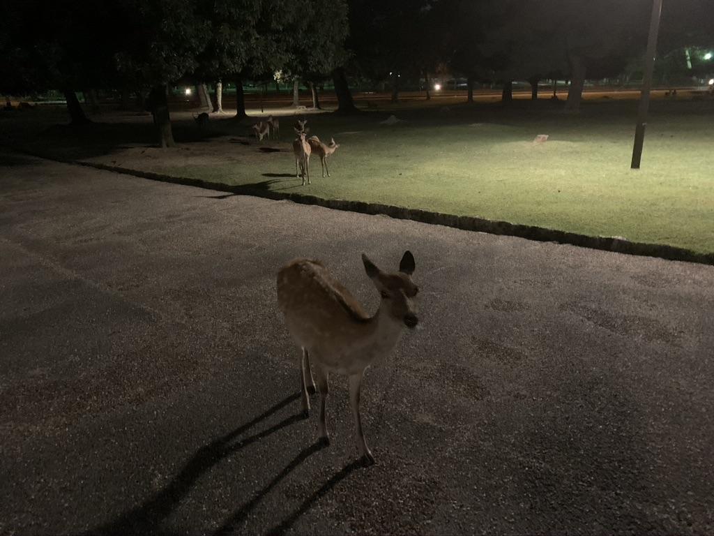奈良公園 鹿 夜間