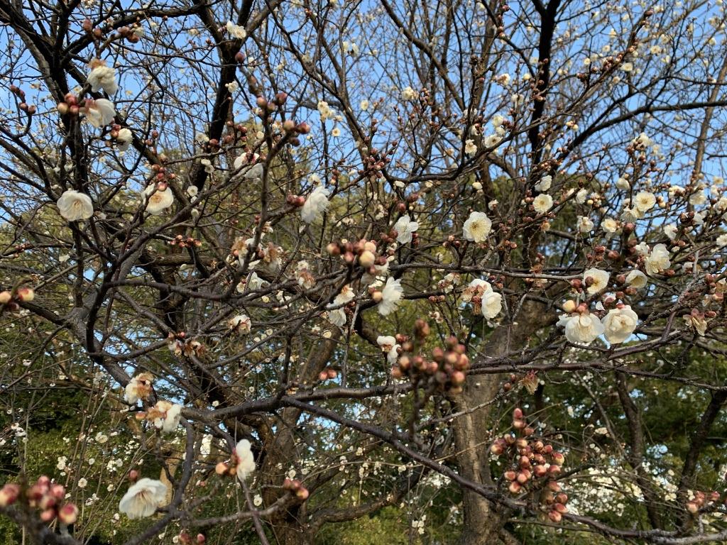岸和田七宮詣 兵主神社 梅の花