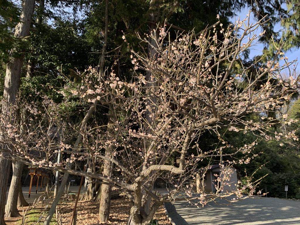 売布神社 梅の花