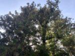 清荒神清澄寺 樹木