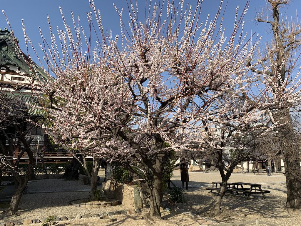 大念仏寺 桜